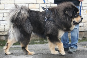 A Tibetan mastiff like this was used in place of a lion at a zoo in China.Photo / Creative Commons