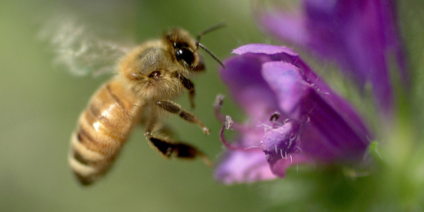 Pesticides are believed to be devastating bee populations worldwide. Photo / Brett Phibbs