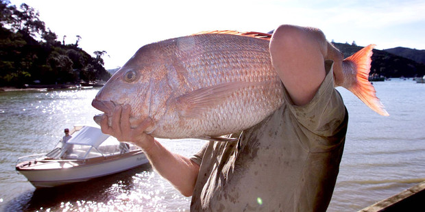 Recreational fishers say they would accept restrictions on their snapper catch if the commercial industry changed its methods. Photo / Kenny Rodger