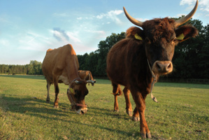 """Swiss shoppers aren't too keen on """"bull penis"""" dog crews... Neither are the bulls. Photo / Thinkstock"""