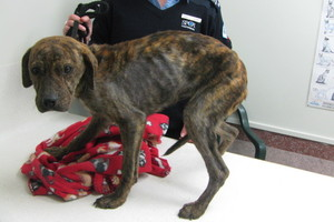 The owner of this starved puppy has been banned from owning animals for four years. The puppy had to be put down.