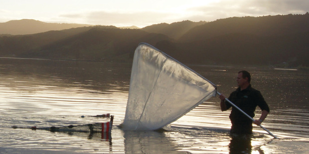 Whitebait season has begun. Photo / Jacqui Church
