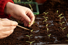When pricking out take care not to damage delicate seedlings.