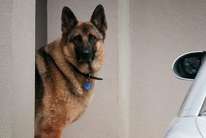 German shepherd dog at the Redvale property. Photo / Doug Sherring
