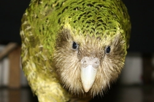 "Sirocco the kakapo was described by actor Stephen Fry as having a ""Victorian gentleman's face""."