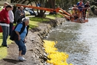 Many of the plastic ducks were blown ashore at the start of the race. Photo / Ron Burgin