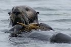 By eating crabs, the revived California sea otters are combating some harmful effects of agricultural runoff. Photo / AP