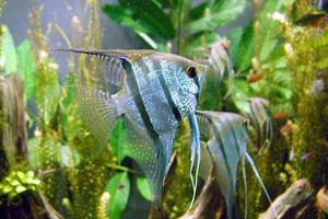Common freshwater angelfish.Photo / Creative Commons