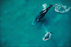 Southern right whales journey to the Great Australian Bight each year to breed. Photo / Getty Images