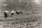 The signal is given that the wire is straight and immediately the backs are bent as planting of the cuttings begin at Brancott in August 1973. Photo / Supplied