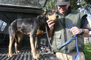COME FORWARD: Malcolm Falk believes this huntaway bitch found wandering on Lees Pakaraka Rd two weeks ago is a working dog.