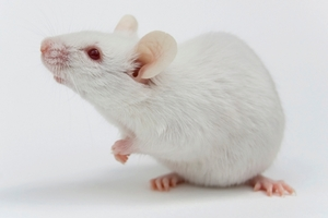 The test for botulism involved injecting mice with the suspect sample and a range of anti-toxins. Photo / Thinkstock