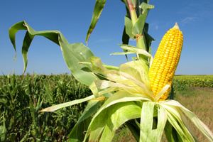 Could corn be turned into biofuel? Photo / Thinkstock