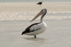 A pelican making itself at home on a Rangaunu Harbour sand bank. Photo / Kevin Matthews