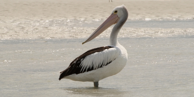 A pelican making itself at home on a Rangaunu Harbour sand bank. Photo / Kevin Matthews