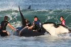 Whale expert Ingrid Visser clings to the dorsal fin of a stranded orca whale while other rescuers help at Ruakaka Beach in 2010. Photo / Michael Cunningham