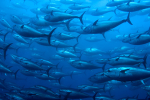Getting fresh tuna to high-paying markets may be the key to prosperity for Pacific nations. Photo / Thinkstock