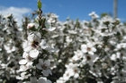 The fragrant foliage on a manuka tree will give your garden a sweet, summer scent. Photo / Meg Liptrott