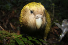 The kakapo has been named the world's second ugliest animal in a new poll.