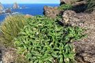 The new species of Cooks Scurvy Grass on the Snares Islands 200km south of NZ.