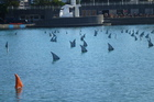 100 grey shark fins and one orange fin in Wellington Harbour.