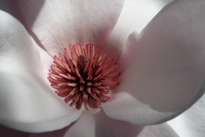 Magnolia blooms emit a voluptuously intoxicating fragrance. Photo / Meg Liptrot