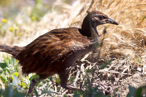 Weka. File photo / NZ Herald