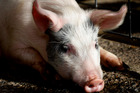 Do we want a pig industry in New Zealand?