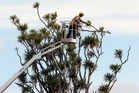 Council contractors fell a 60-year-old cabbage tree in Hastings. Photo / Paul Taylor