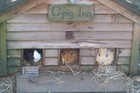 The guinea pigs of Stoney Oaks enjoying the farm-stay experience.