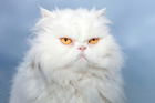 A Persian cat could be the next animal sent to space. Photo / Thinkstock