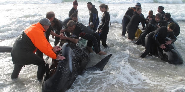 The 1997 stranding of 101 pilot whales took place on the same beach on the Karikari Peninsula as another mass stranding in August 2010. Photo / Peter de Graaf