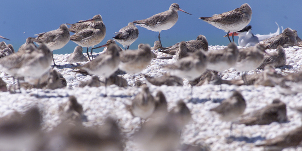 Thousands of godwits have once again shown up on our shores.  Photo / File
