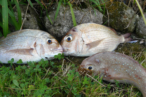 Reported snapper numbers in the Hauraki Gulf and Northland coastal waters to be down to about 24 per cent of the stock that would exist if the species was not fished.