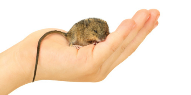 Sleepy little mouse. Photo / Thinkstock