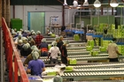 Working in a kiwifruit packhouse can mean 10-12 hour days.