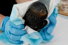 Hundreds of sea birds, including little blue penguins, were treated after being caught in the oil spill. Photo / Christine Cornege