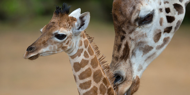See Shira the baby giraffe and other baby animals at the Auckland Zoo. Photo / Brett Phibbs
