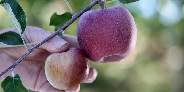 The quarantined apples are thought to have originated from Hawke's Bay.