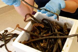 The Mediterranean fanworm. Photo / File
