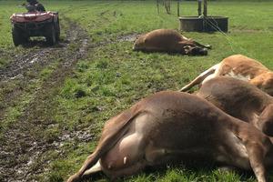 Nine cows were killed by lightning. Photo / APNZ