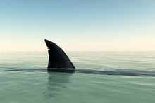Sharks are often still alive when they're thrown finless back into the ocean to die. Photo / Thinkstock