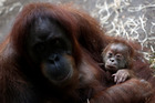 An app designed specifically for apes has taken off at zoos around the world. Photo / AP