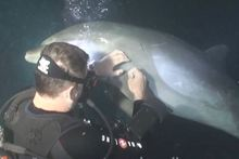 A diver helps a dolphin who appeared to ask for help in Hawaii. Photo / Supplied/YouTube