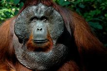 Doyok, a 28-year-old male orangutan at Pondok Tangui in Borneo. Photo / Ann Huston, HOS
