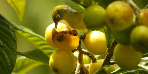 Loquat trees cope reasonably well in New Zealand's climate. Photo / NZ Herald