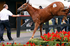 A chesnut filly plays up before heading into the parade ring at the Karaka Sales.  Photo / Sarah Ivey