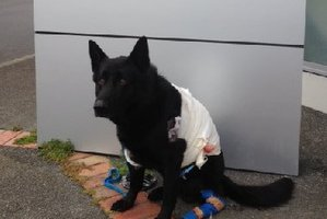 RECOVERING: Police dog Gus is progressing well and unlikely to need surgery. PHOTO/SUPPLIED