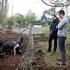 Chef and owner Rodney Dunn (right) and Michael look at hte Wessex saddleback pigs. Photo / Christine Cornege