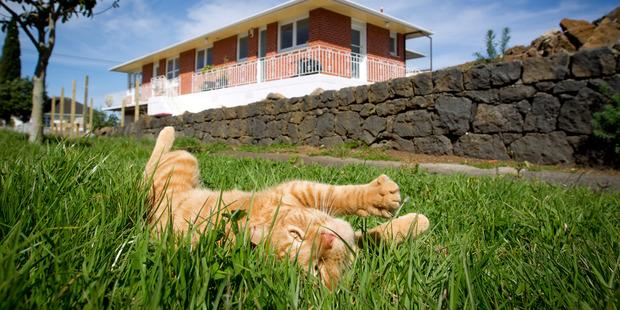 Timmy the cat enjoys an overgrown berm on Blakey Street, Onehunga. Photo / Sarah Ivey